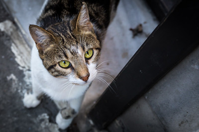 Tabby with green eyes