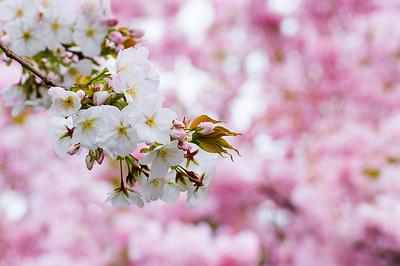 Brooklyn Botanic Garden, Brooklyn, New York. April 18, 2013.
