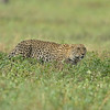 Stalking African Leopard (Panthera pardus pardus) in the grasslands of Ndutu in Ngorongoro conservation area in north Tanzania