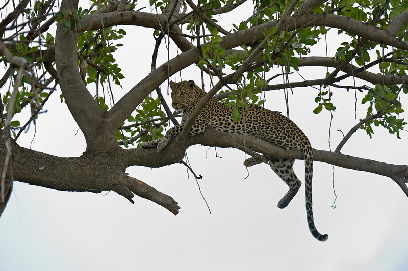 African Leopard (Panthera pardus pardus) sitting on the branch of a tree in Masai Mara in Kenya, Africa