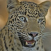 Close up of a leopards head in Ranthambhore tiger reserve