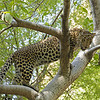 Leopard on a tree in Ranthambhore tiger reserve