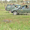 Tourists in cars watching an African Leopard (Panthera pardus pardus) in the grasslands of Ndutu in Ngorongoro conservation area in north Tanzania