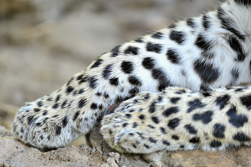 Spots on the paws of a leopard