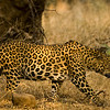 Leopard stalking prey in the dry grasslands of Ranthambore national park