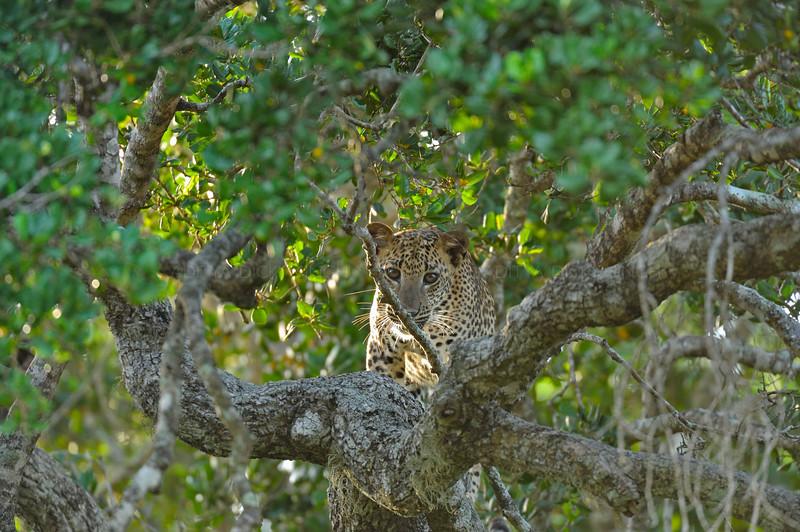 Leopard sitting on a branch of a tree in Yala national park, Sri Lanka