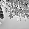 Leopard's dangling leg