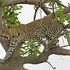 African Leopard (Panthera pardus pardus) walking on a tree in Masai Mara in Kenya, Africa