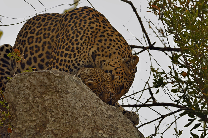 African Leopard (Panthera pardus pardus) grooming her young cub on a rock in Masai Mara