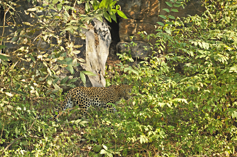 Leopard in the forests of Ranthambore national park