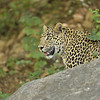 Leopard on the rocks in Ranthambhore tiger reserve