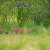 Leopards in a meadow in Sri Lanka