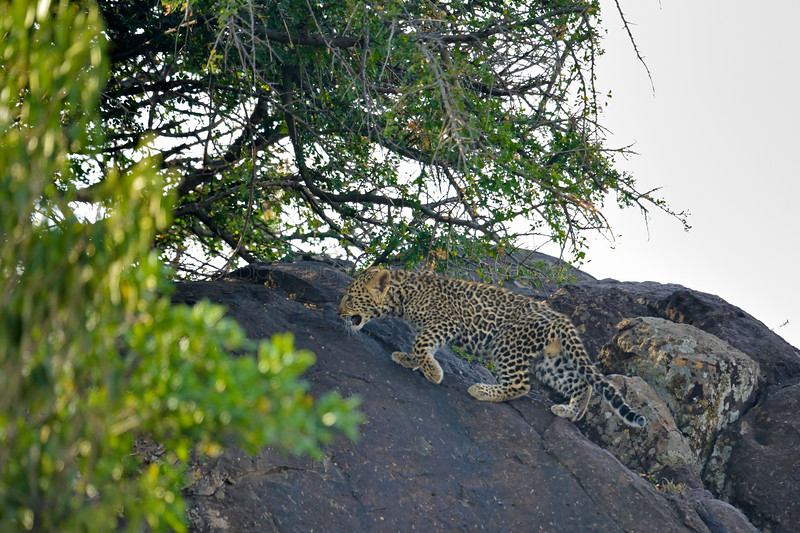 African Leopard (Panthera pardus pardus) cub on a rock in Masai Mara