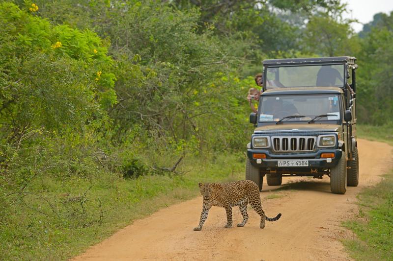 Leopard and tourists in Sri Lanka