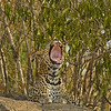 African Leopard (Panthera pardus pardus) yawning in Masai Mara
