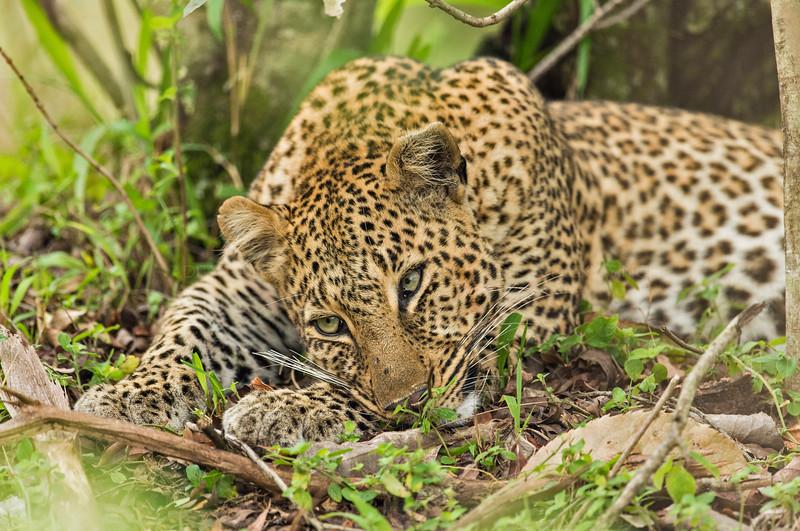 Africa leopard in Masai Mara