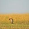African Leopard (Panthera pardus pardus) in the grasslands of Masai Mara in Kenya, Africa