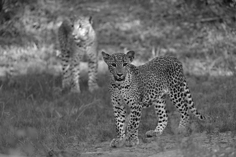 Two Leopards in Yala national park, Sri Lanka