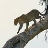 African Leopard (Panthera pardus pardus) walking down a tree in Masai Mara in Kenya, Africa