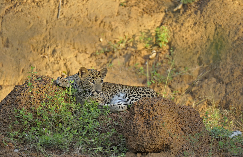 Leopard in Yala national park, Sri Lanka