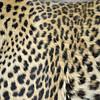 Spots on a leopard's skin