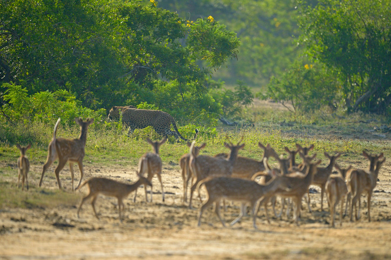 Leopard and deer in a meadow in Sri Lanka