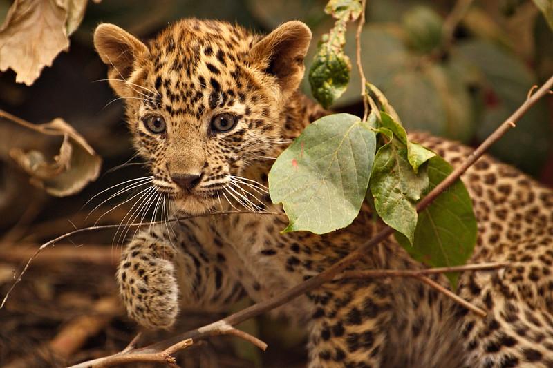 Wild leopard cub in Ranthambhore tiger reserve