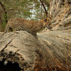 Wild leopard cub standing on a fallen tree trunk in Ranthambhore tiger reserve