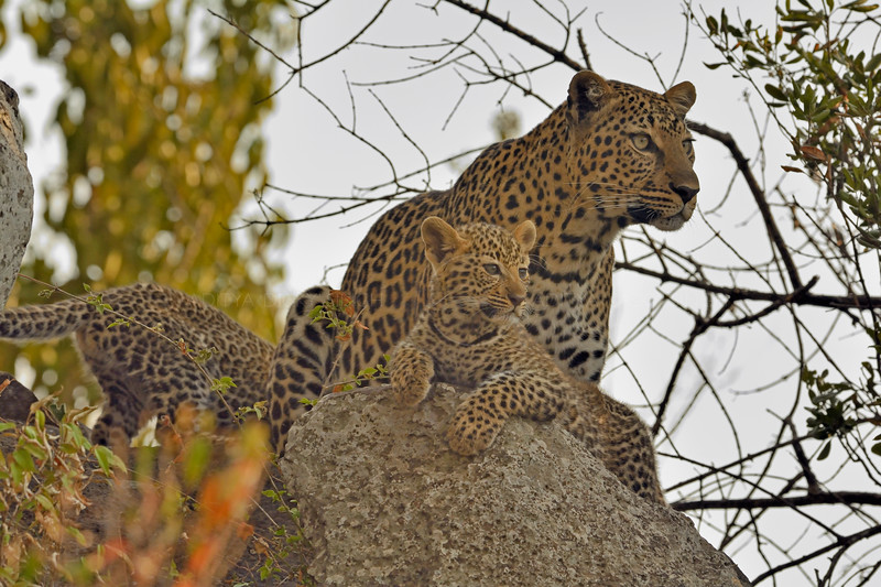 African Leopard (Panthera pardus pardus) and her young cubs on a rock in Masai Mara