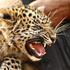 Leopard cub in Ranthambhore tiger reserve in north Indian state of Rajasthan