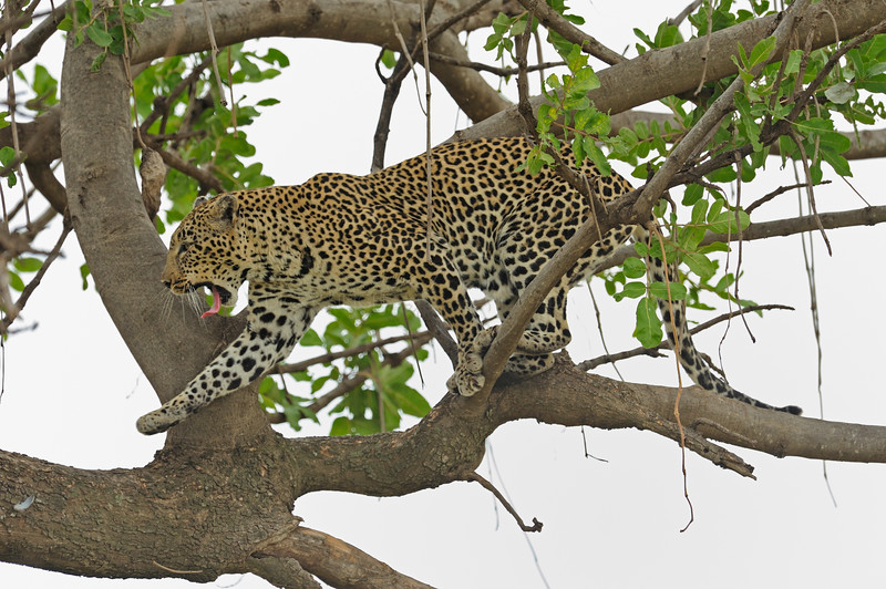 African Leopard (Panthera pardus pardus) walking on a tree in Masai Mara in Kenya, Africa