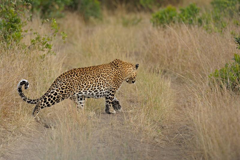 African Leopard (Panthera pardus pardus) stalking in the grasslands of Masai Mara in Kenya, Africa