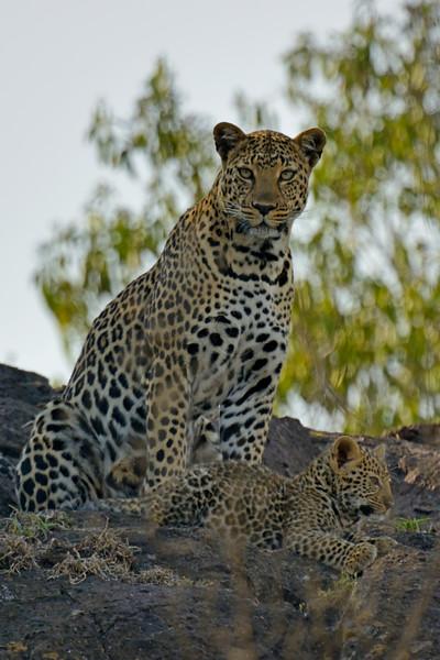 African Leopard (Panthera pardus pardus) on a rock in Masai Mara