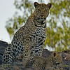 African Leopard (Panthera pardus pardus) on a rock in Masai Mara