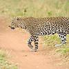 African Leopard (Panthera pardus pardus) walking behind a car in  Masai Mara in Kenya, Africa