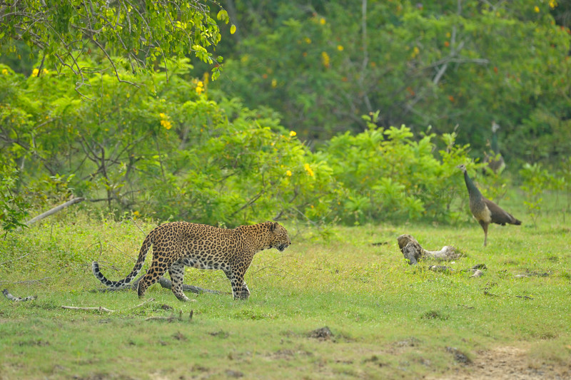 Leopard and Peafowl in a meadow in Sri Lanka