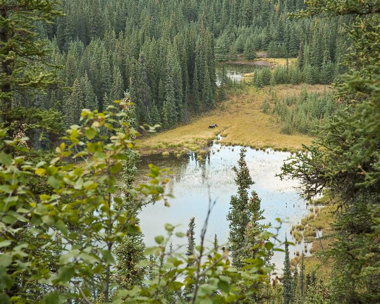 Moose feeding in wetland