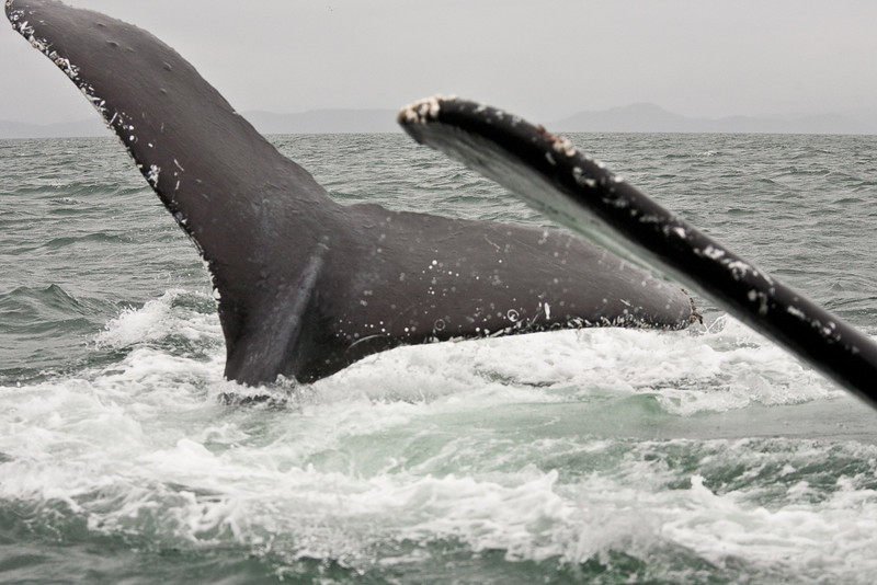 Humpback whales diving under our boat near Juneau