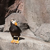 Puffin at the Alaska Sea Life Center in Sweard