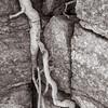 Palo Verde root