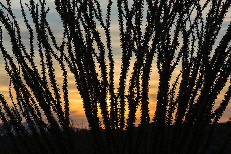 Ocotillo with sunset