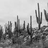 Saguaros, Catalina State Park, Tucson