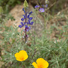 Lupine and poppies, Catalina State Park, Tucson