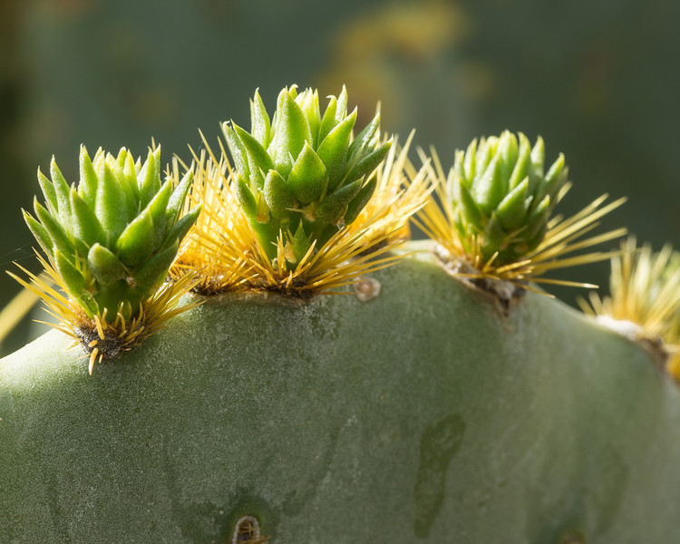 Prickly pear detail