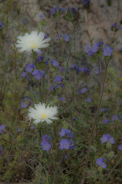Wildflowers, Catalina State Park, Tucson