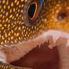 Goldentail glare