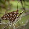 Fritillary butterfly, Magnolia Plantation