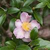 Camellia, Magnolia Plantation