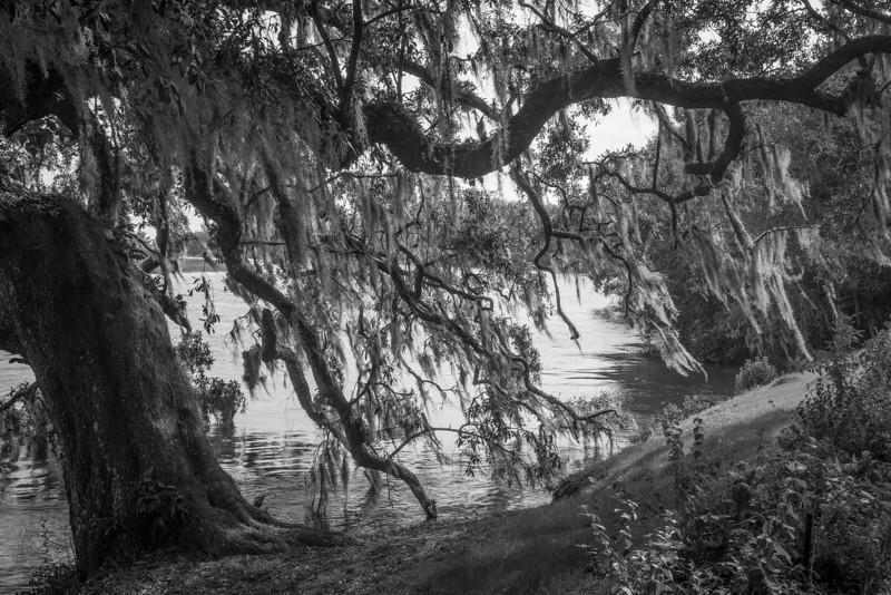 Live Oak, Ashley River, Magnolia Plantation