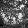 Live Oak, Ashley River, Magnolia Plantation
